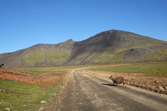 Överallt längs vägen och längs bergssidorna gick det får och betade. Island har över 40 olika raser. Vilken ras just det här fåret tillhör låter jag vara osagt... :)